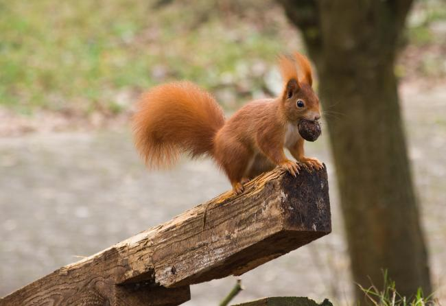 Red Squirrel. Picture: Pixabay