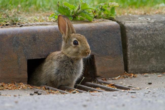A rabbit at the roadside. Picture: Paul Bunyard
