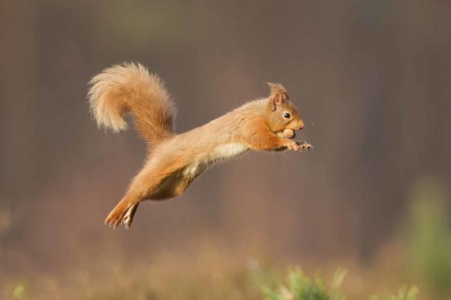 Red Squirrel Picture: Peter Cairns/ 2020 VISION