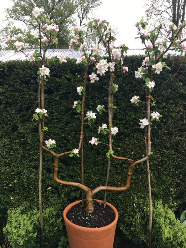 Gardening The Art Of Training Fruit Trees The Westmorland Gazette