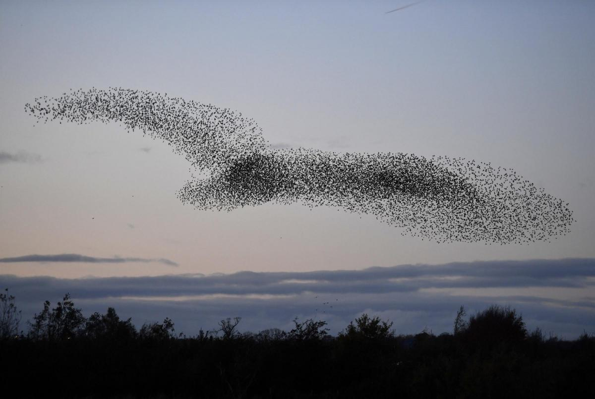 Starlings dazzle and delight