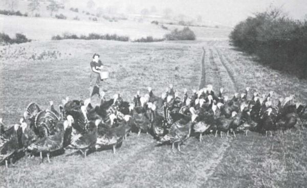 Sarah, a Manchester-born 'Women's Land Army Girl', feeding 'coal black turkeys which had pure white meat' at Overthwaite, near Holme, in 1945.