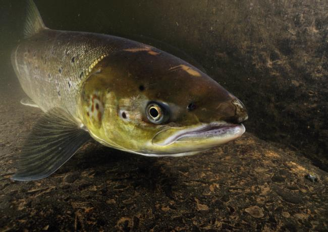 A female Atlantic salmon. Picture: Linda Pitkin2020VISION