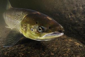 Atlantic salmon return to Cumbria reserve