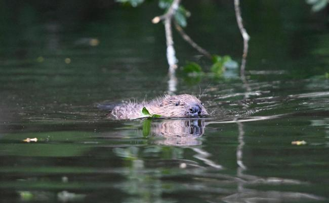 Beaver. Picture by David Parkyn, Cornwall Wildlife Trust