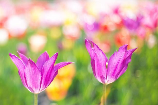 Tulips. Picture by Jill Wellington