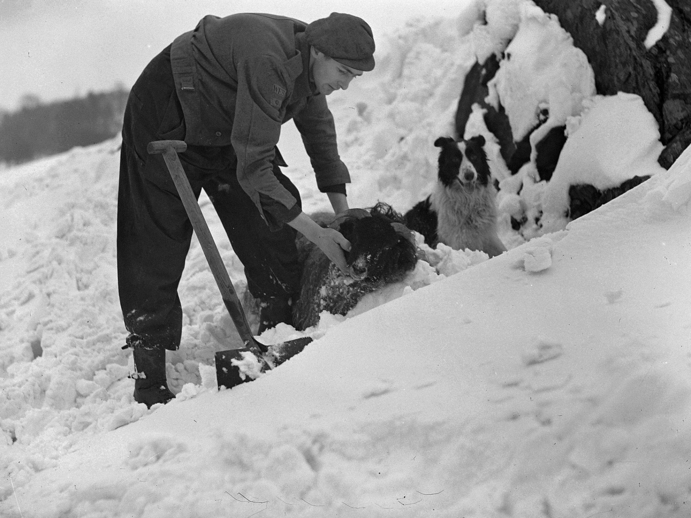 PICTURE FROM THE PAST: Farmer rescues trapped sheep