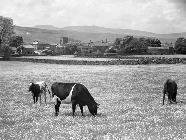 CHOMP: Cows grazing in a field