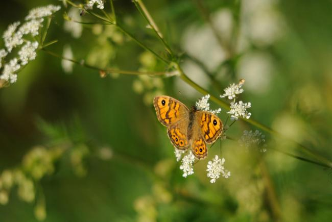 NATURE: Wall brown butterfly on cow parsley by Amy Lewis