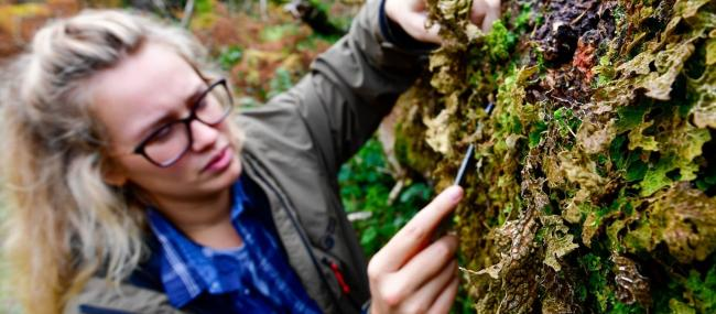 TRANSFER: Lichenologist April Windle carefully removes the rare lungwort lichen from a fallen oak tree.