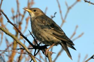 A juvenile rose-coloured starling.