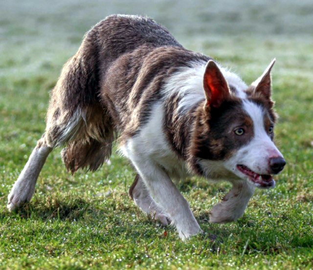 Working sheepdogs are being stolen from farms all over the country, says NFU Mutual