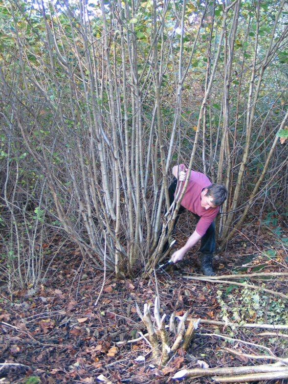 The Westmorland Gazette: IN ACTION: Rebecca Oaks, who has received an MBE for services to coppicing and green woodland craft, coppicing a hazel