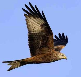 Red kites to make a Lake District return