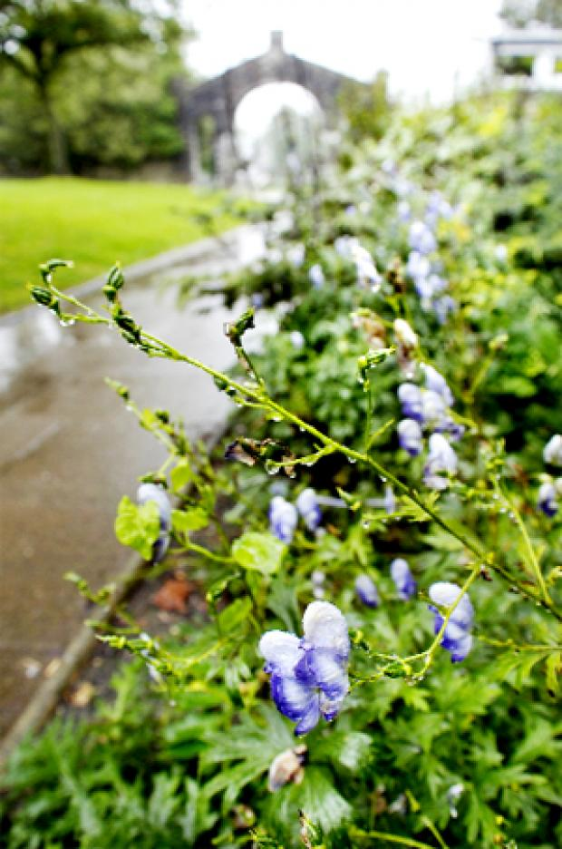 Monkshood Flowers on Poisonous Flowers Were Planted In Kendal Park  From The Westmorland