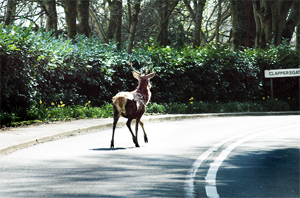 HAZARD: Westmorland Gazette photographer Tori Middleton spotted this deer on a road near Clappersgate