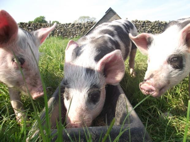 Diamond Jubilee: These little piggies went to Sedgwick...