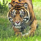 A tiger at West Midlands Safari Park