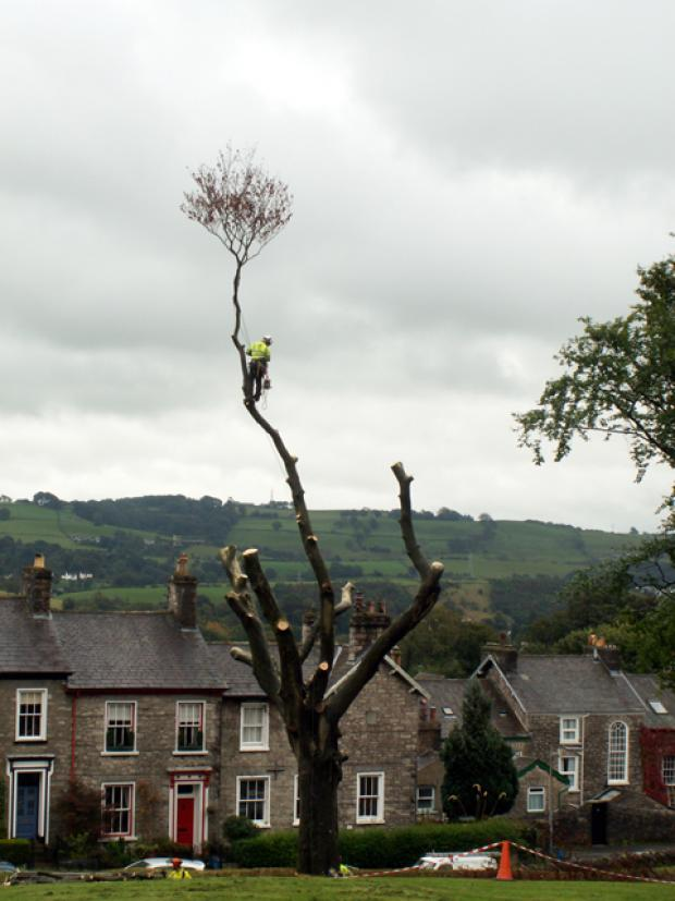 Work begins on felling diseased trees in Kendal