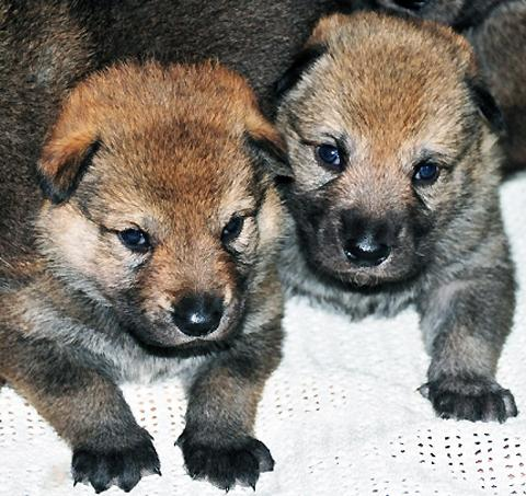 The two Timber Wolf origin pups