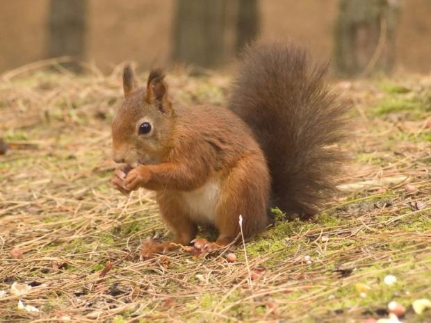 Red squirrels are back in Troutbeck