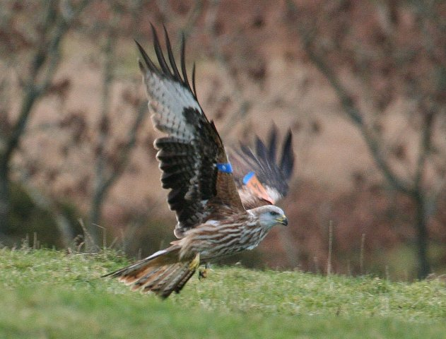 More than 200 sightings of Grizedale Forest's red kites recorded but public's help more important than ever
