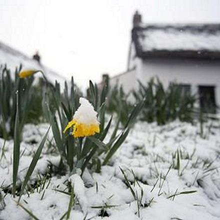 Last year's daffodils were covered in snow - but not this year