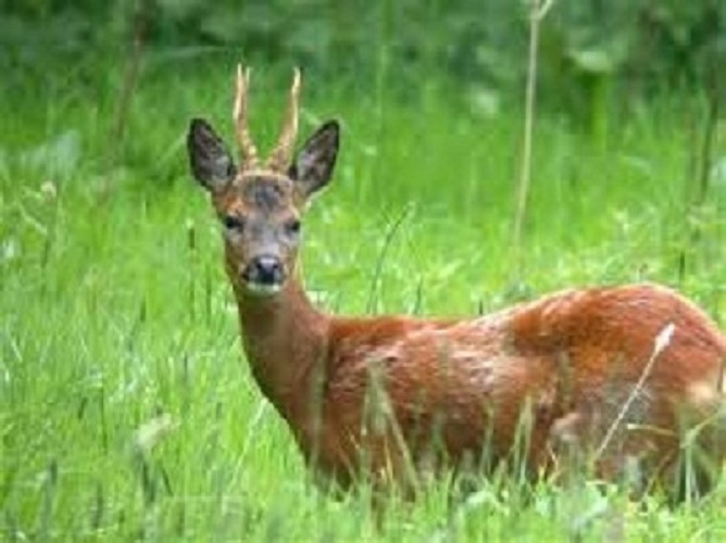 Roe Deer - stock picture