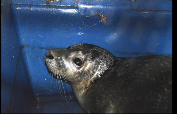 The Westmorland Gazette: The seal pup is caught. Picture by Paul Calland of Bay Search and Rescue Team