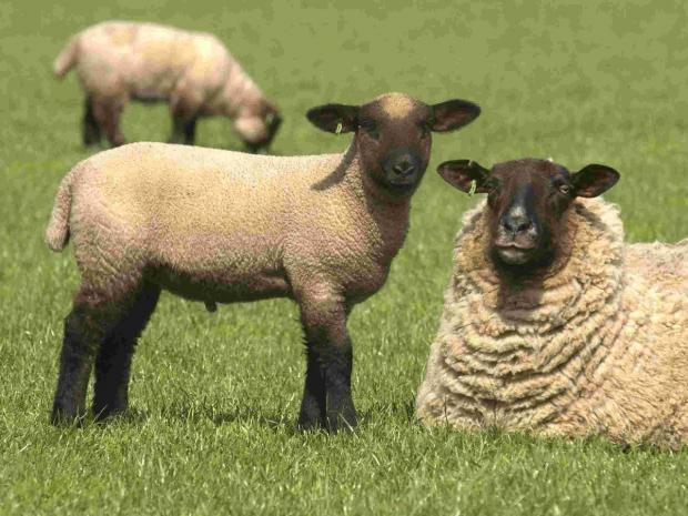 PARK RANGER'S CALL: Keep dogs under control to protect sheep at lambing time