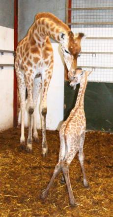 Zoo bosses call in 'top vet' for injured giraffe