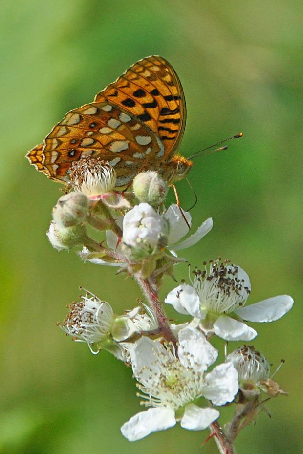 The Westmorland Gazette: High brown fritillary - photo by Tim Melling, Butterfly Conservation
