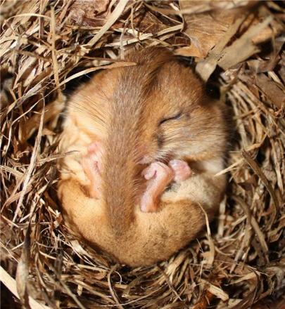 Conservationists attempt to attract elusive dormouse back to Morecambe Bay