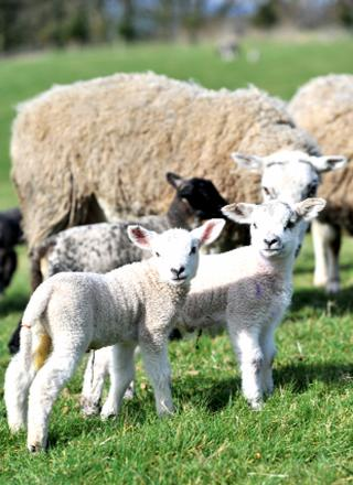 Spring is in the air for new-born lambs