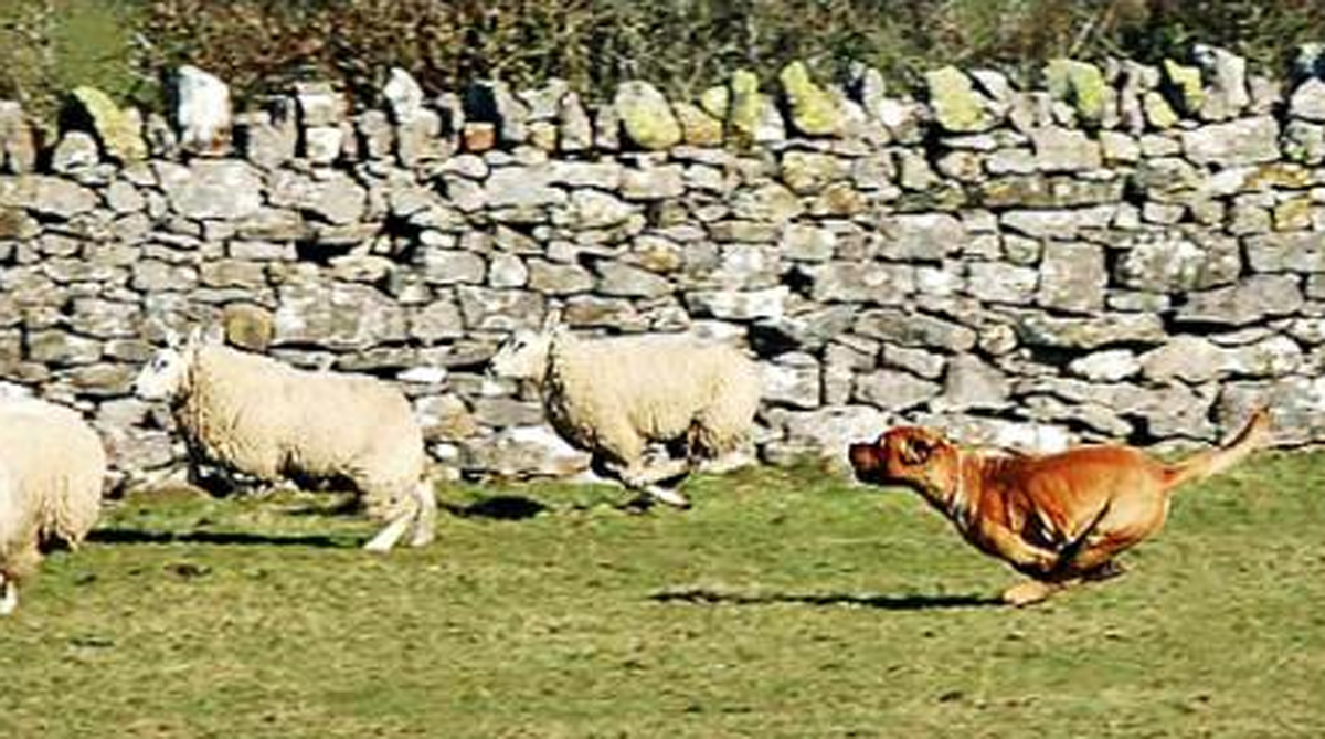A dog chasing sheep