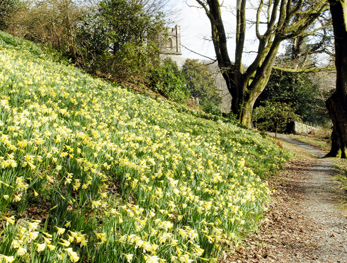 William Wordsworth planted native daffodils at Dora's Field at Rydal in memory of his daughter