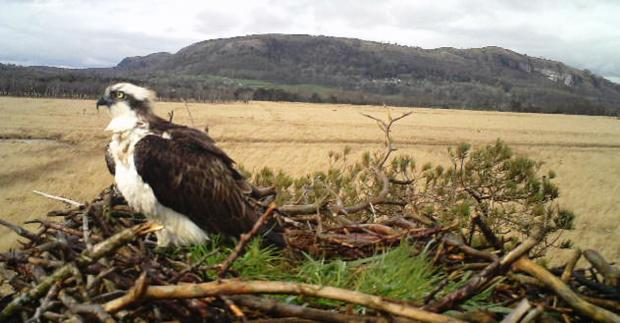 The Westmorland Gazette: A picture from the camera overlooking the nest at Foulshaw Moss