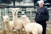 Pat Bentley with three of her alpaca herd