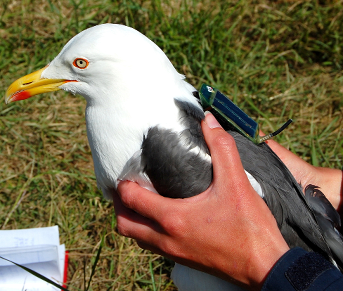 A gull fitted with a GPS transmitter 'backpack'