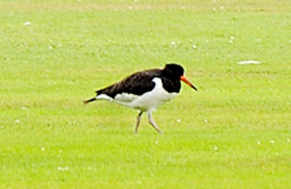 One of the birds on the outfield