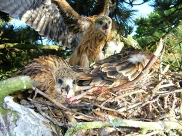 The Westmorland Gazette: the first brood of Cumbrian red kite chicks in more than 200 years, pictured in the nest at Grizedale Forest