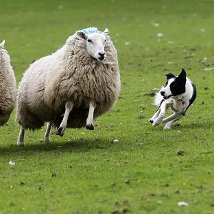 A study found rounding up sheep successfully is a deceptively simple process involv