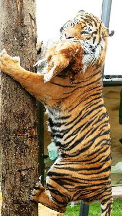 A tiger climbs a pole for a chicken