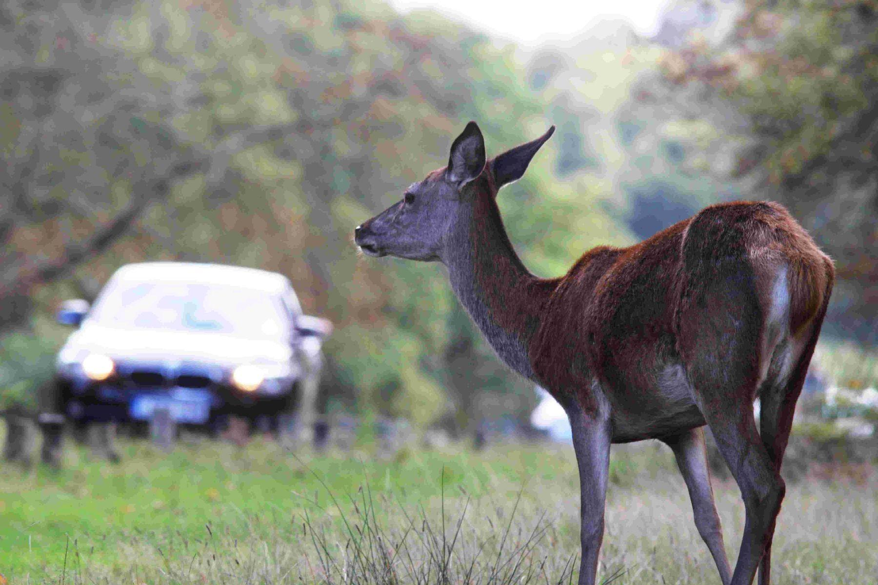South Lakeland roads among the worst for deer and vehicle collisions