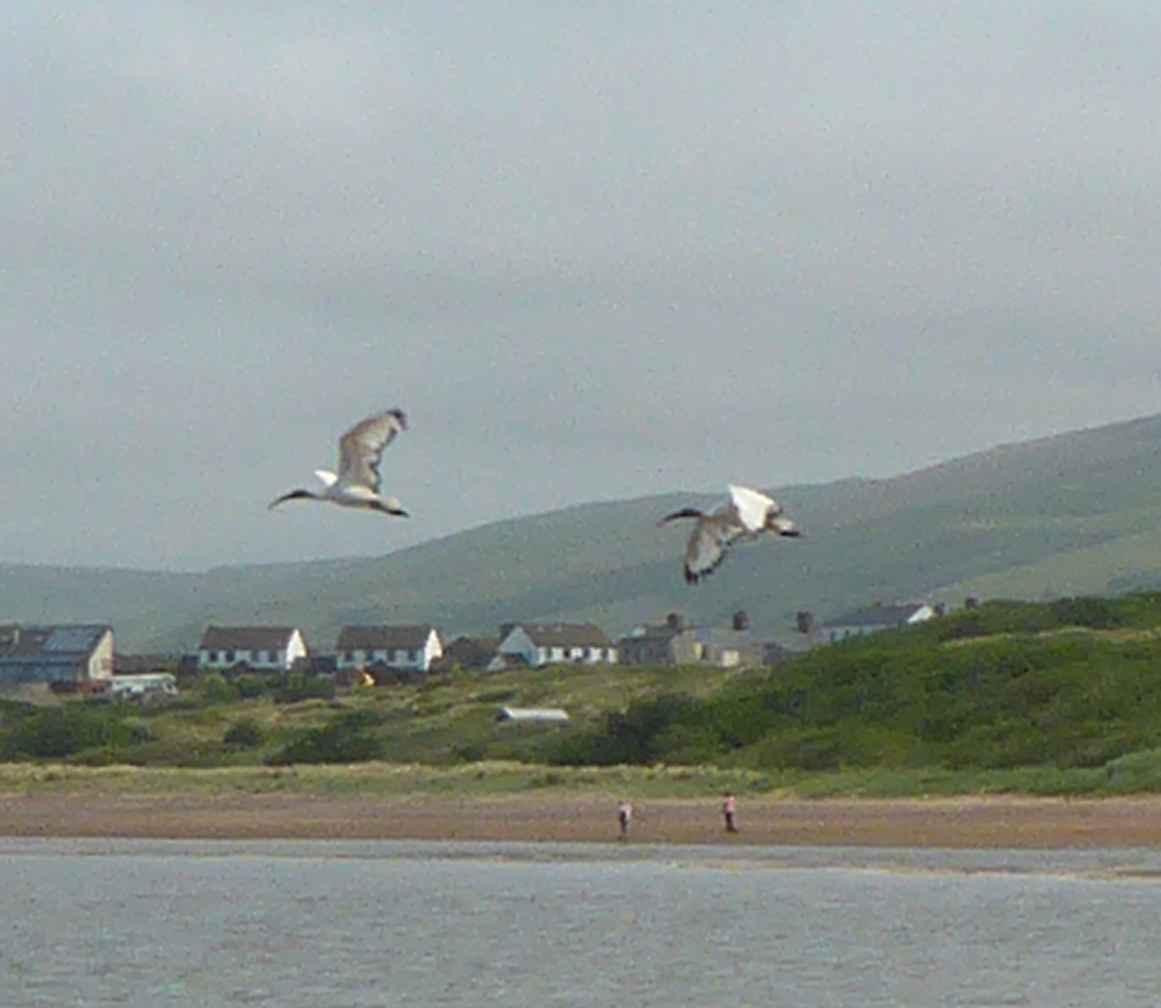 FREE-FLYING: A pair of Sacred Ibis photographed at Roanhead last July by Gazette reader, Jo Day