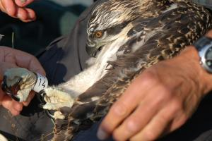 Osprey returns home to the Lakes  after 10,000 mile journey