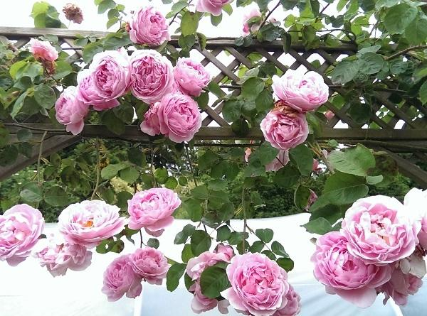 Gardening Plant Climbing Roses In A Good Location That S