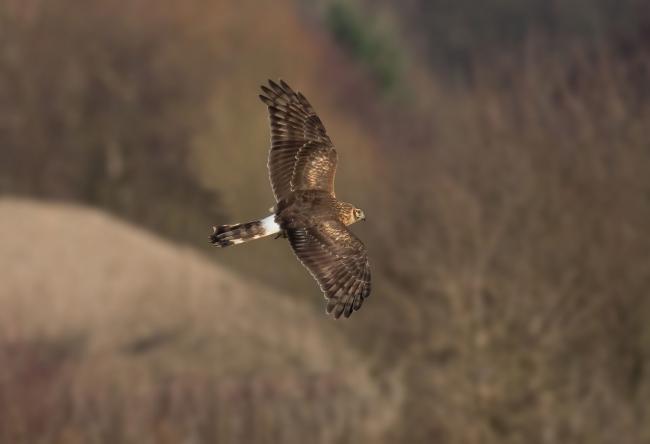 Hen harrier found 'shot' dead in Cumbria