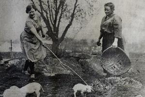 TODAY'S PHOTO FROM THE GAZETTE ARCHIVES: New-born piglets in 1930 at Underbarrow