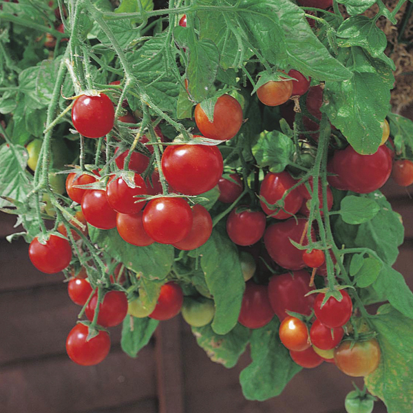 Tumbling Tom is a cherry, bush tomato, great for growing in hanging baskets. A delicious sweet fruit